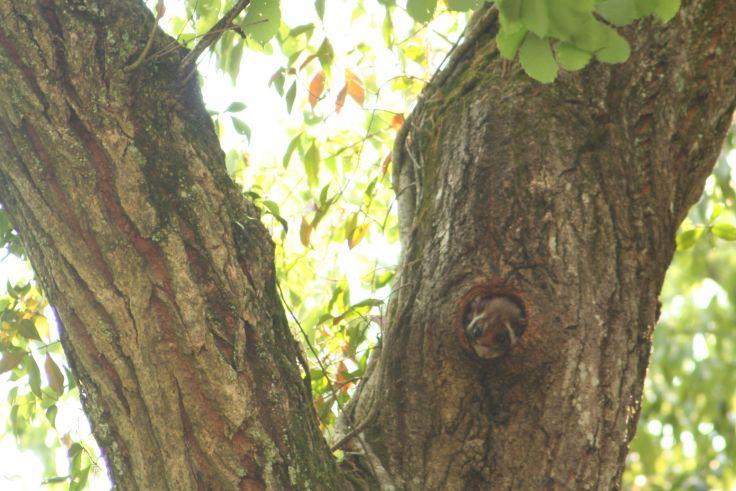木に隠れるムササビを探す