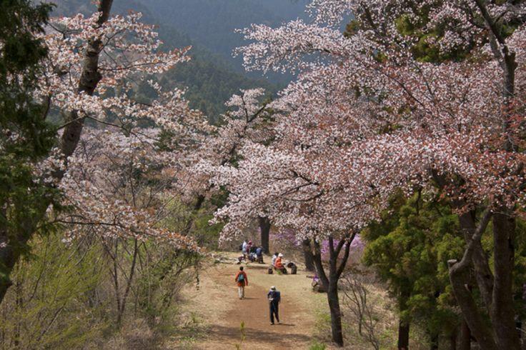 満開の桜をめざす